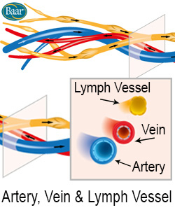 LymphoCare Vein, Artery and Lymph Vessel Depiction